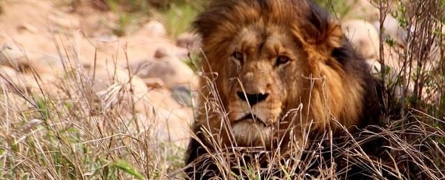 Wilbur Smith - gdy poluje lew